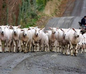 Flock ewes on the walk home.