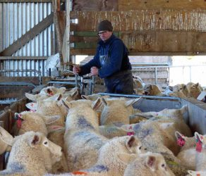 Leon drafting ewes after scanning