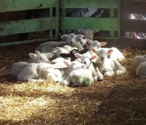 Spare lambs lying in the sun